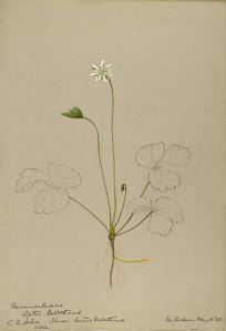 Helen Sharp, Water-color sketches of American plants, especially New England, (1888-1910)